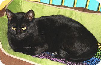 Domestic Shorthair Cat for adoption in Mobile, Alabama - Plumpkin