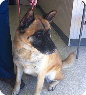 Akita/German Shepherd Dog Mix Dog for adoption in Hayward, California - Coco - Adopted!