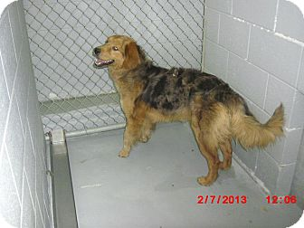 Golden Retriever/Australian Shepherd Mix Dog for adoption in Hagerstown, Maryland - Camo