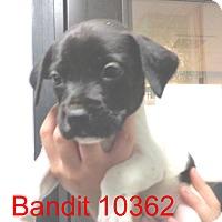 Adopt A Pet :: Bandit - Greencastle, NC