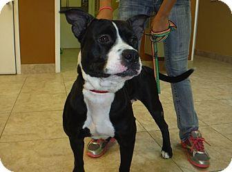 American Bulldog/Labrador Retriever Mix Dog for adoption in Palm City, Florida - Holly