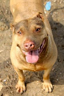 Pit Bull Terrier Dog for adoption in Memphis, Tennessee - Autumn