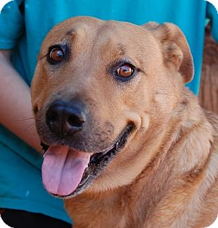Rhodesian Ridgeback/Labrador Retriever Mix Dog for adoption in Las Vegas, Nevada - Melanie