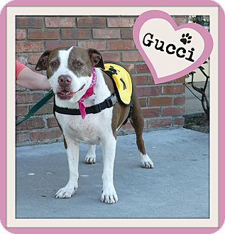 American Pit Bull Terrier Mix Dog for adoption in Los Angeles, California - Gucci