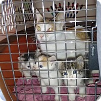 Adopt A Pet :: Phoebe and Kittens - Gibbstown, NJ
