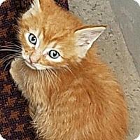 Adopt A Pet :: Indiana Jones - Spring, TX