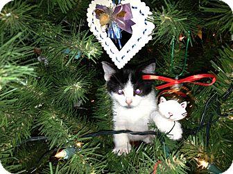 Domestic Shorthair Kitten for adoption in East Hanover, New Jersey - Penguin