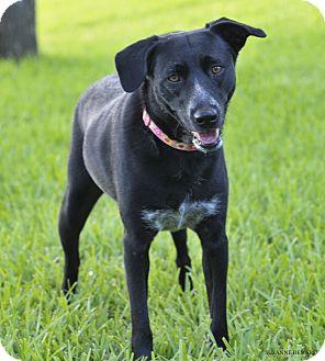 Labrador Retriever Mix Dog for adoption in Norwalk, Connecticut - Precious is perfect