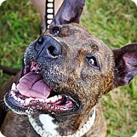 Adopt A Pet :: SUNNY made of kisses! - Durham, NH