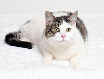 Domestic Mediumhair Cat for adoption in Roseville, California - Ella
