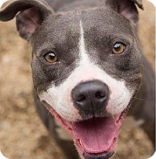 American Pit Bull Terrier Mix Dog for adoption in Decatur, Georgia - GEORGIA