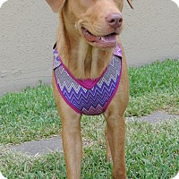 Adopt A Pet :: Precious - Humble, TX