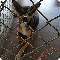 Adopt A Pet :: Tiger 2 - Livingston Parish, LA