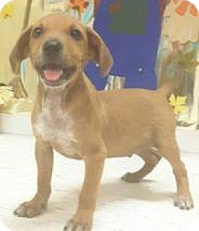 Labrador Retriever Mix Puppy for adoption in Patterson, New York - Tumbler