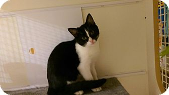 Domestic Shorthair Kitten for adoption in Bridgeton, Missouri - Gretel