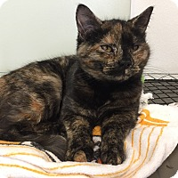 Adopt A Pet :: Torty - Tioga, PA
