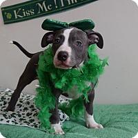 Adopt A Pet :: Candace - bloomfield, NJ
