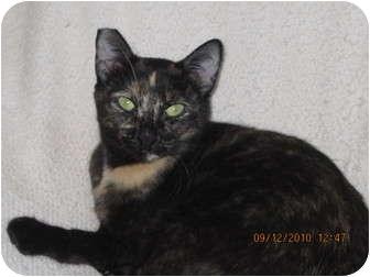 Domestic Shorthair Cat for adoption in Los Angeles, California - Lolita