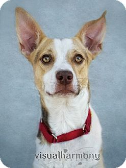 Australian Kelpie Mix Dog for adoption in Phoenix, Arizona - Marco