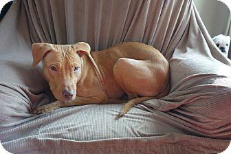 American Staffordshire Terrier/Labrador Retriever Mix Puppy for adoption in Long Beach, New York - Dora