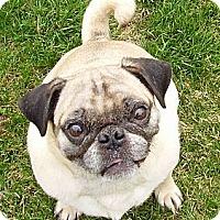 Adopt A Pet :: Mr. Pibbs - Hinckley, MN