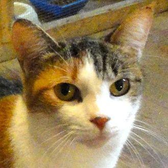 Calico Cat for adoption in St. Johnsville, New York - Nessa