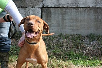 American Pit Bull Terrier/Hound (Unknown Type) Mix Dog for adoption in Demopolis, Alabama - Luke