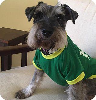 Schnauzer (Miniature) Dog for adoption in Redondo Beach, California - Donny