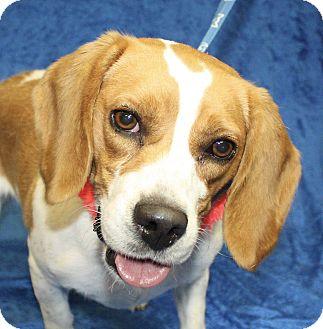 Beagle Mix Dog for adoption in Jackson, Michigan - Maude