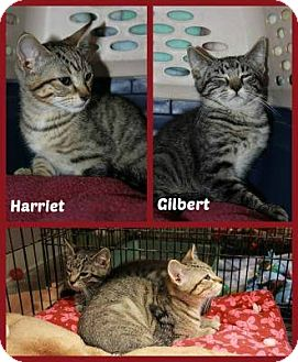 Domestic Shorthair Kitten for adoption in New Richmond,, Wisconsin - Harriet