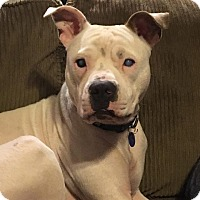 Adopt A Pet :: Stevie Wonder- ADOPTIONPENDING - Warrenville, IL