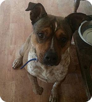 Blue Heeler/American Bulldog Mix Dog for adoption in Rosemount, Minnesota - Blue