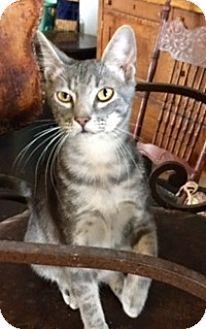 Domestic Shorthair Kitten for adoption in Houston, Texas - Calvin