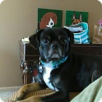 Pug/Chihuahua Mix Dog for adoption in China, Michigan - Bear
