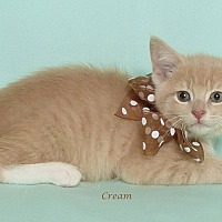 Adopt A Pet :: Cream - Kerrville, TX