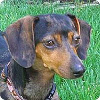 Adopt A Pet :: Courtney - San Jose, CA