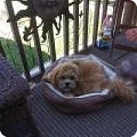 Adopt A Pet :: Wicket - Shawnee Mission, KS
