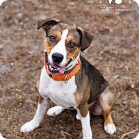 German Shepherd Dog/Hound (Unknown Type) Mix Dog for adoption in Gloversville, New York - Zeke