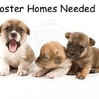Labrador Retriever Mix Puppy for adoption in Randolph, New Jersey - FOSTER A Pup & Save a Life!