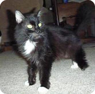 Domestic Longhair Cat for adoption in Cincinnati, Ohio - Amelia