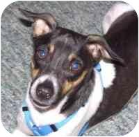 Italian Greyhound/Fox Terrier (Toy) Mix Dog for adoption in Lewisville, Texas - Bailey
