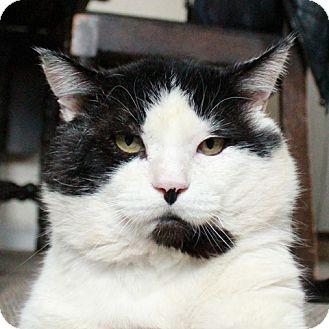 Abyssinian Cat for adoption in Vancouver, British Columbia - Cornelius