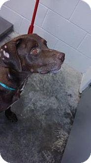Labrador Retriever Mix Dog for adoption in Paducah, Kentucky - Roxy