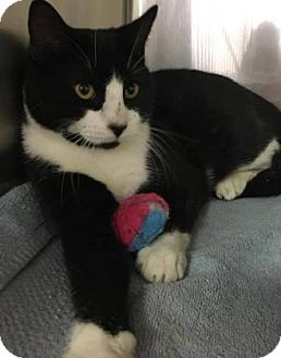 Domestic Shorthair Cat for adoption in Voorhees, New Jersey - Redd-PetSmart