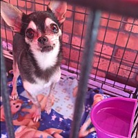 Adopt A Pet :: Bubbie - North Hollywood, CA