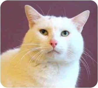 Domestic Shorthair Cat for adoption in Plainville, Massachusetts - Homer