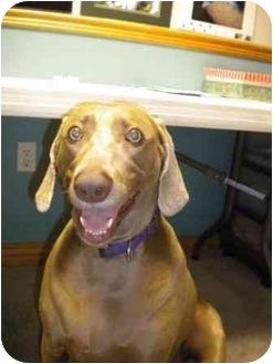 Weimaraner Dog for adoption in Eustis, Florida - Sophie