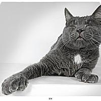 Adopt A Pet :: Ichi - New York, NY