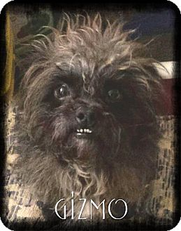 Cairn Terrier Dog for adoption in Crandall, Georgia - Gizmo