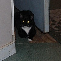 Domestic Shorthair Cat for adoption in Brainardsville, New York - Eclipse